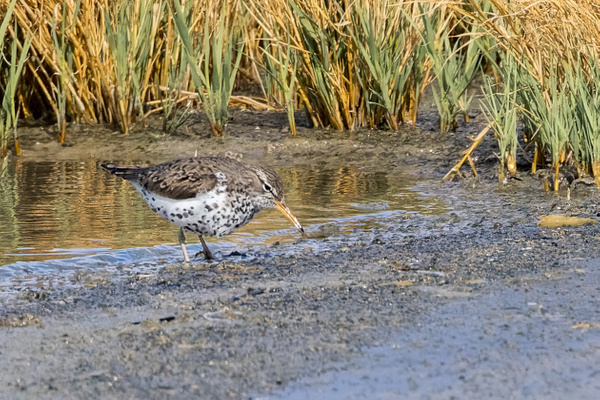 Spotted Sandpiper by KeeleysPhotos