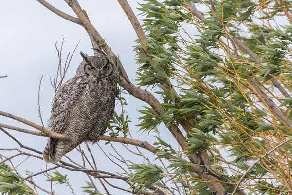 Great Horned Owl by KeeleysPhotos