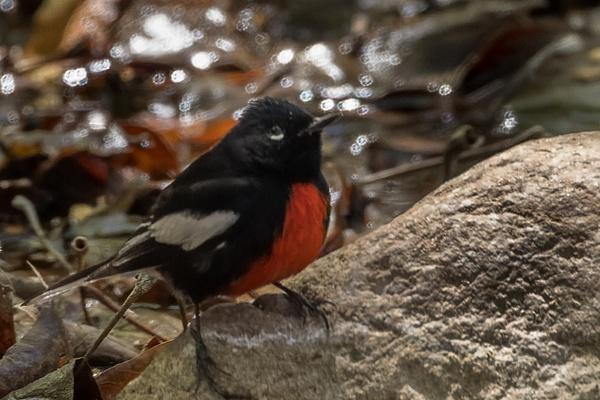 Painted Redstart by KeeleysPhotos