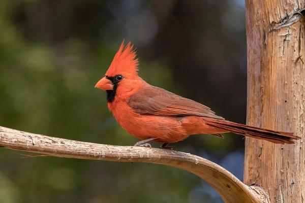 Northern Cardinal by KeeleysPhotos