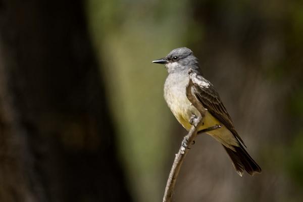 Cassin's Kingbird by KeeleysPhotos