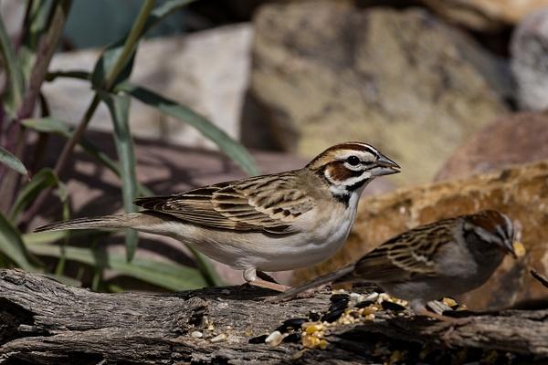Lark Sparrow by KeeleysPhotos