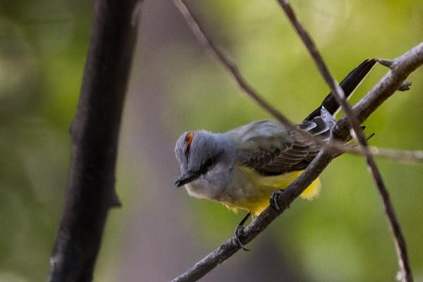 Western Kingbird by KeeleysPhotos