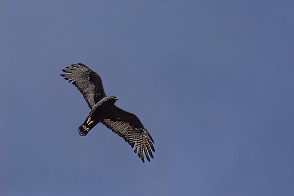 Zone-tailed Hawk by KeeleysPhotos