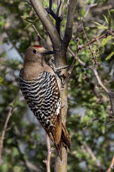 Gila Woodpecker by KeeleysPhotos