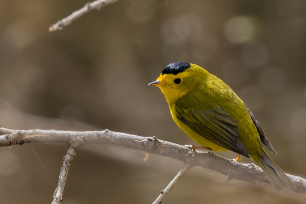 Wilson's Warbler by KeeleysPhotos