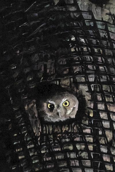 Elf Owl by KeeleysPhotos