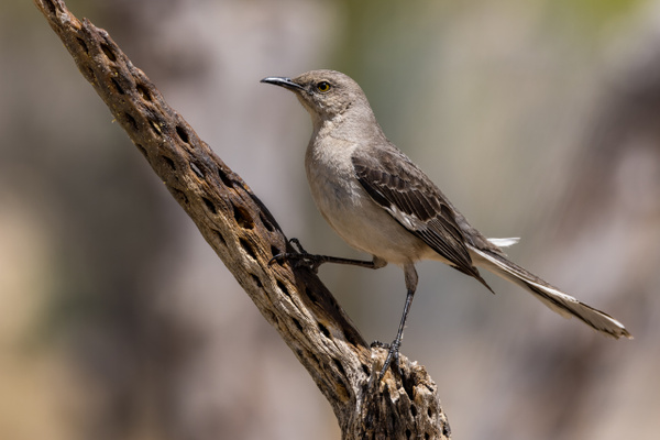 Northern Mockingbird by KeeleysPhotos