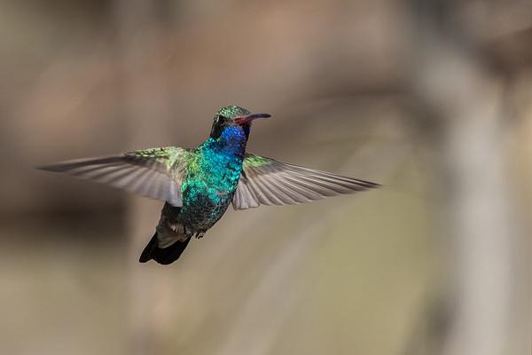 Broad-billed Hummingbird by KeeleysPhotos