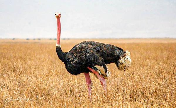 Ostrich by DavidParkerPhotography