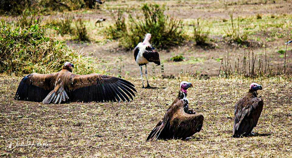 African Vulture by DavidParkerPhotography