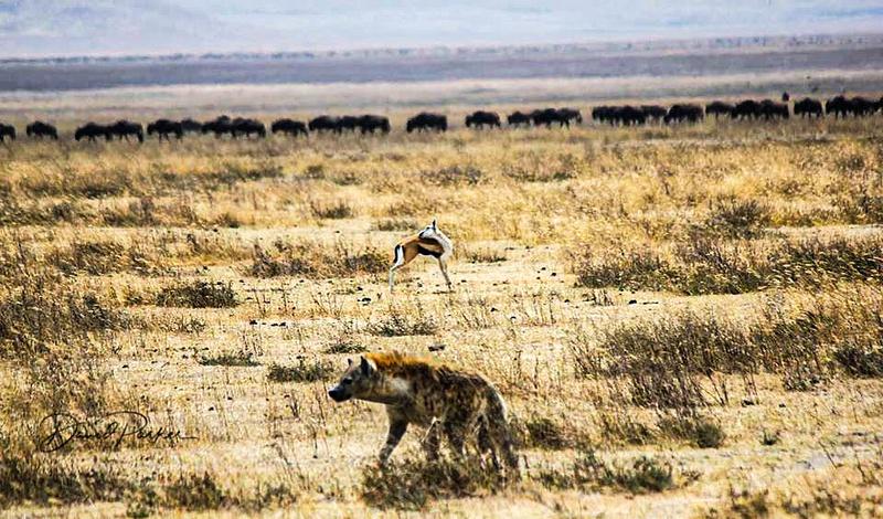 Hyena, and Wildebeest