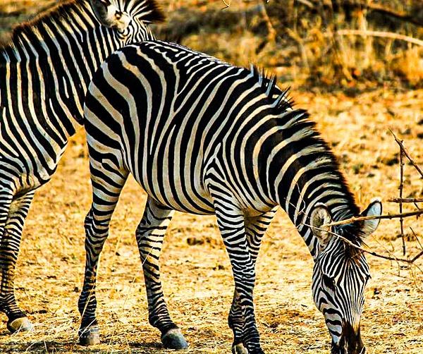 Zebra by DavidParkerPhotography