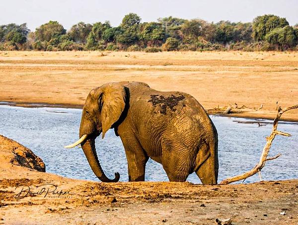 Elephant by DavidParkerPhotography