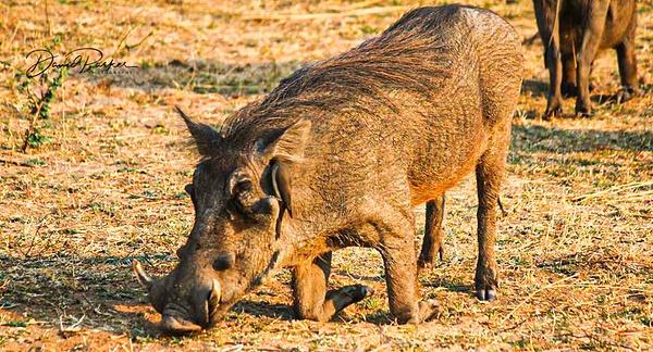 Warthog by DavidParkerPhotography