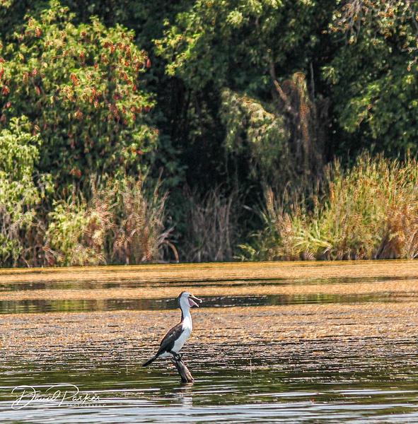 Birdlife, Ord River by DavidParkerPhotography