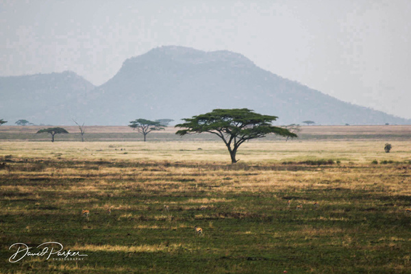 Acacia Tree, Serengeti by DavidParkerPhotography