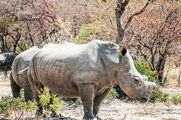 Rhino - Zimbabwe by DavidParkerPhotography