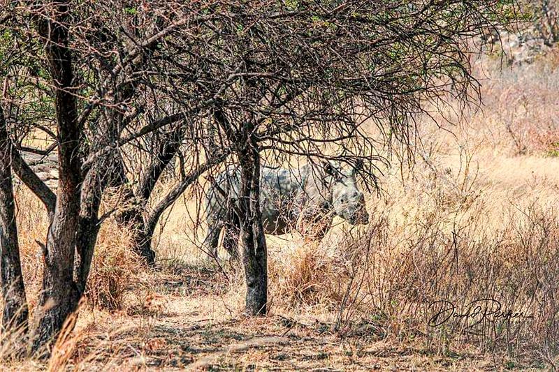 Rhino - Zimbabwe1
