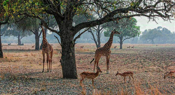 Twin Giraffes by DavidParkerPhotography