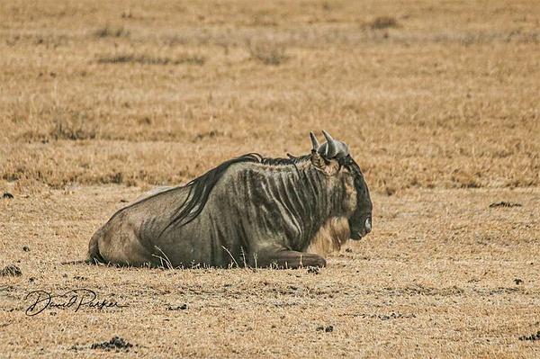 Wildebeest by DavidParkerPhotography