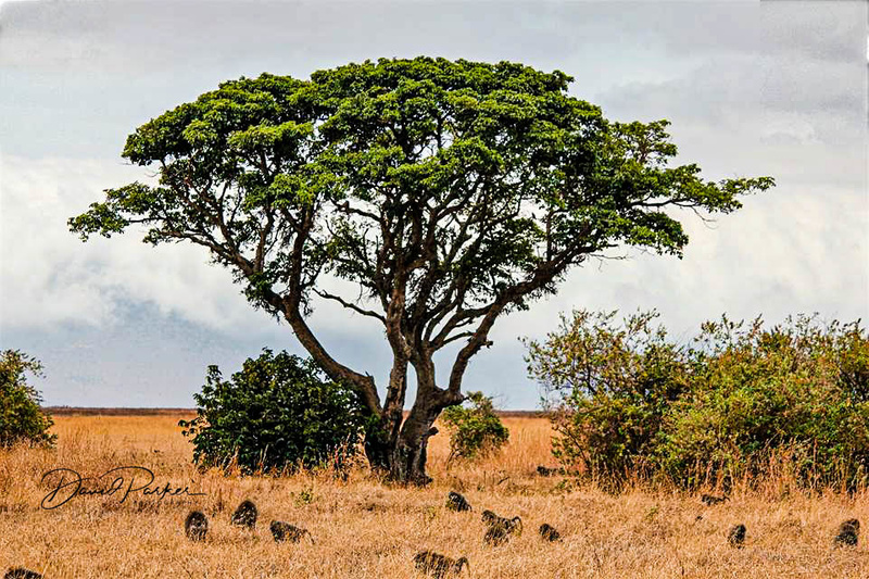 Baboons on the Serengetti