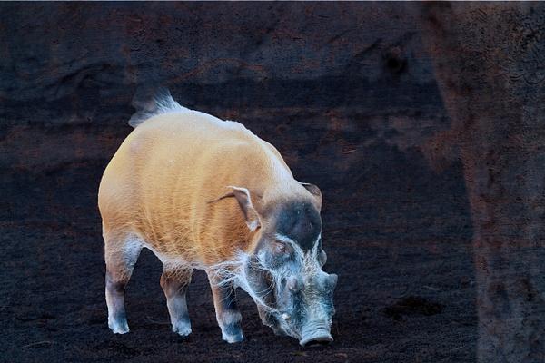 Wild_Boar - Wildlife - ASN Images