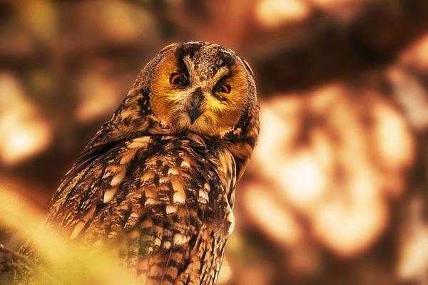 Owl - Wildlife - ASN Images
