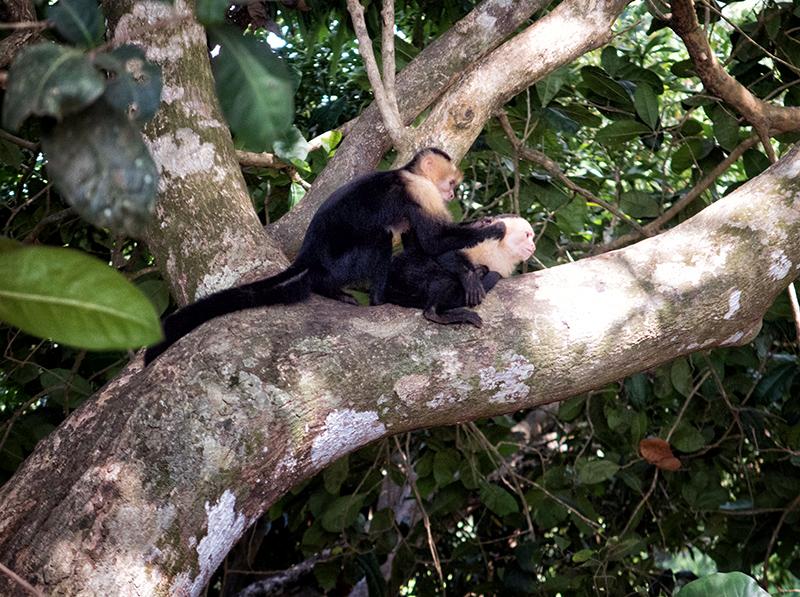monkeys at the beach Antonio Manuel CR