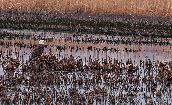 Bald Eagle - Wildlife - Alain Gagnon Photography
