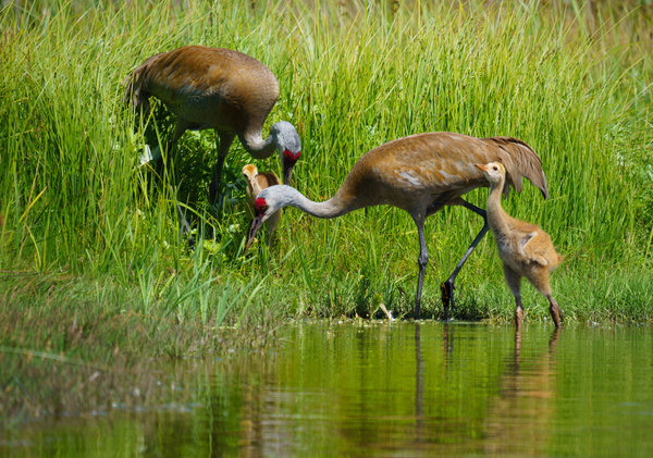 Sand Hill Crane Family - Wildlife - McKinlay Photos