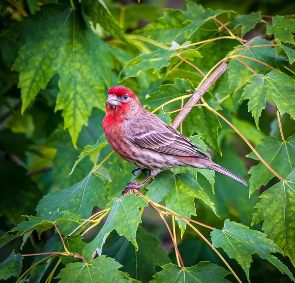 Finch - Wildlife - McKinlay Photos