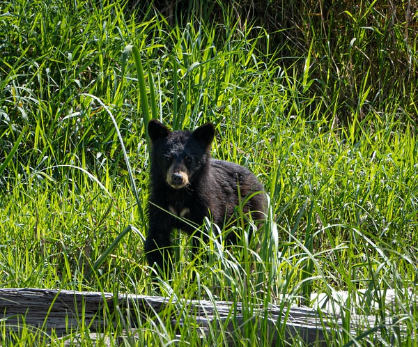 Baby Bear - Wildlife - McKinlay Photos