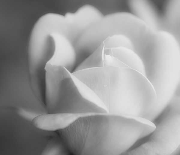 White Rose - Plants and Trees - McKinlay Photo