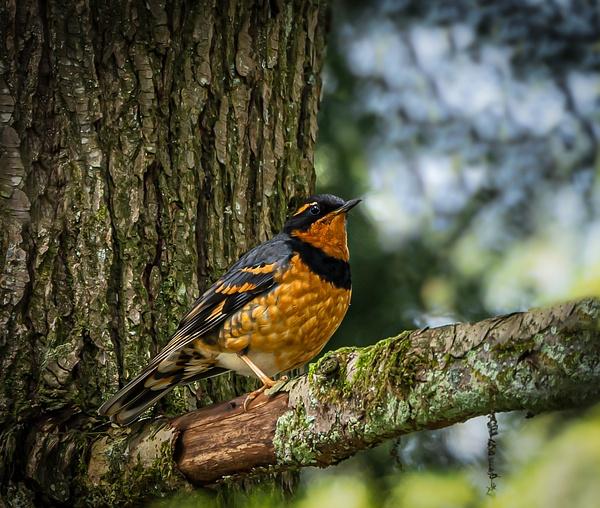 Varied Thrush - Wildlife - McKinlay Photos