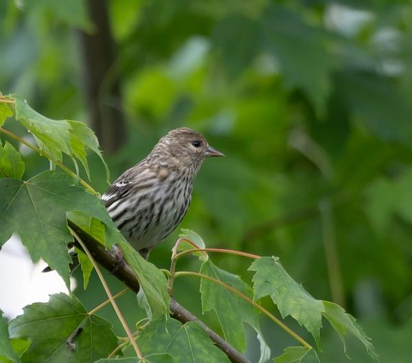 Pine Siskin - Wildlife - McKinlay Photos