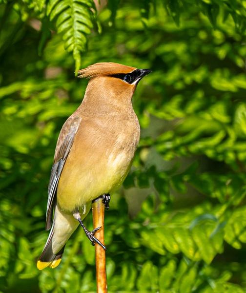 Cedar Wax Wing - Wildlife - McKinlay Photos