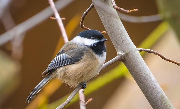 Black Capped Chickedee - Wildlife - McKinlay Photos