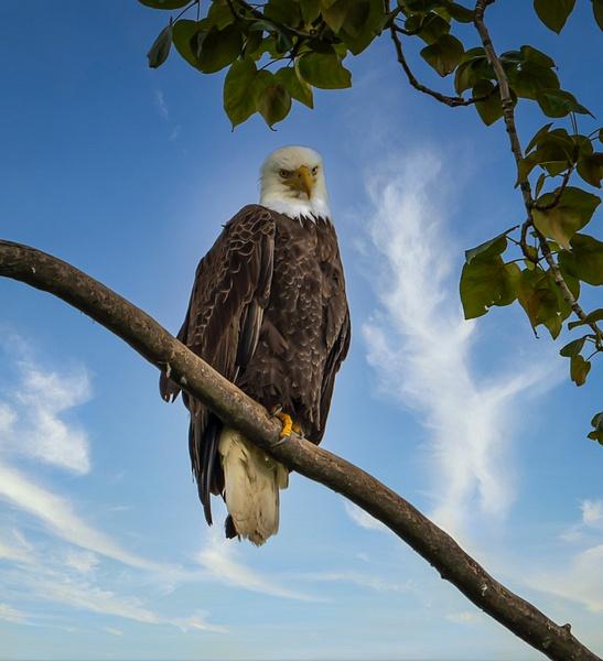 Eagle - Wildlife - McKinlay Photos