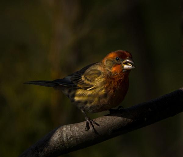 House Finch - Wildlife - McKinlay Photos