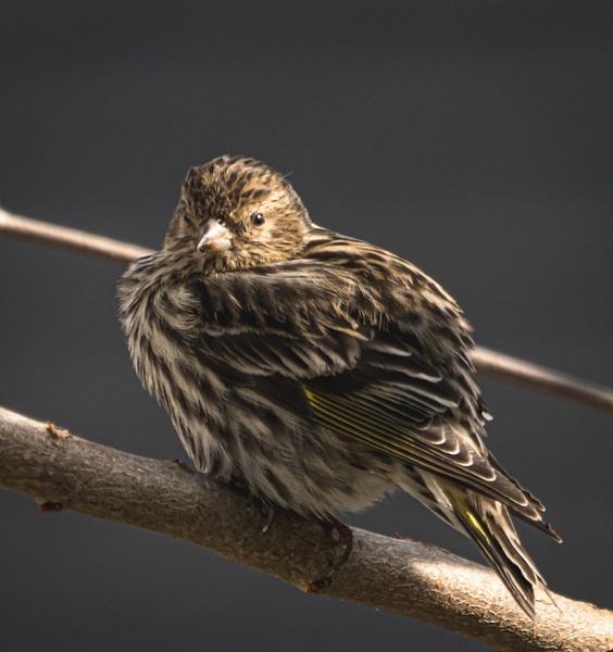 Pine Siskine - Wildlife - McKinlay Photos