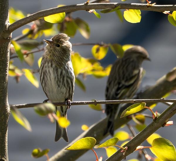 Sparrow - Wildlife - McKinlay Photos
