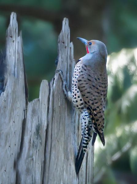 Northern Flicker - Wildlife - McKinlay Photos