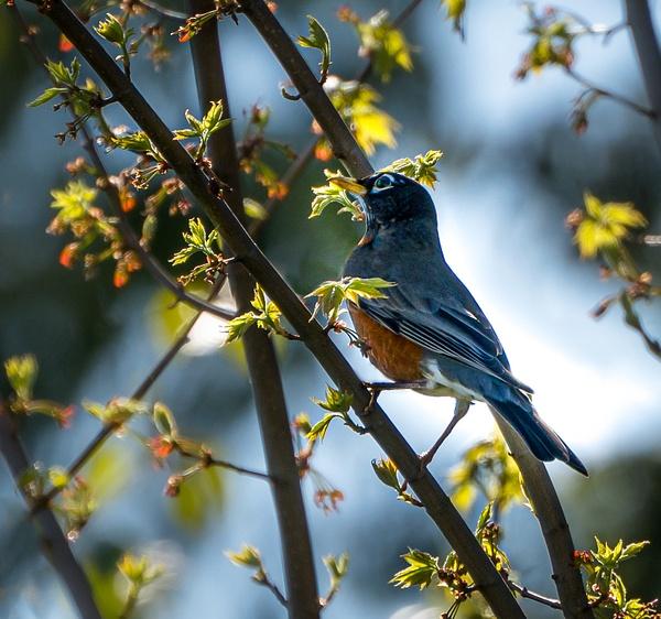 Robin - Wildlife - McKinlay Photos