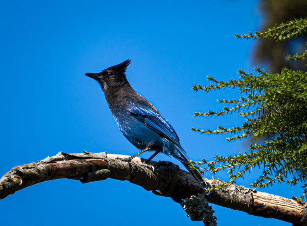Stellar Jay - Wildlife - McKinlay Photos