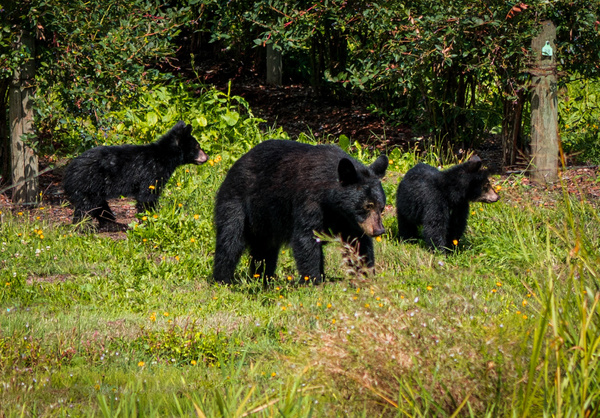 Bear Family - Wildlife - McKinlay Photos