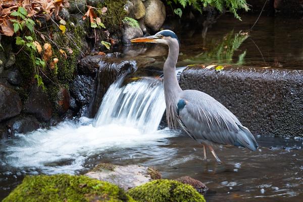 Blue Heron- - Wildlife - McKinlay Photos