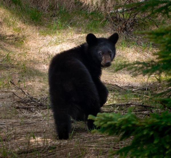 Cub - Wildlife - McKinlay Photos