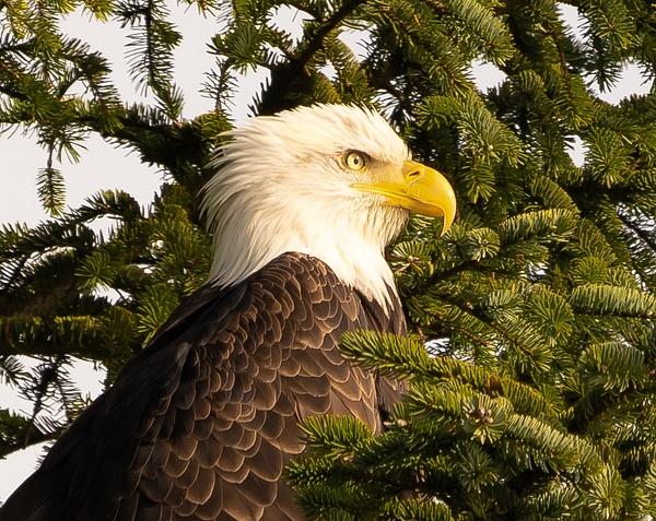 Eagle Close Up - Wildlife - McKinlay Photos