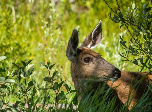 Deer - Wildlife - McKinlay Photos
